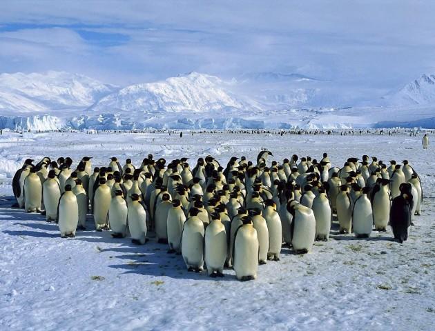 В Антарктиді завдяки знімкам з космосу знайшли 1,5 мільйона пінгвінів