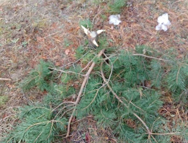 Діти знищили молоді сосни на колишньому полігоні під Луцьком. ФОТО