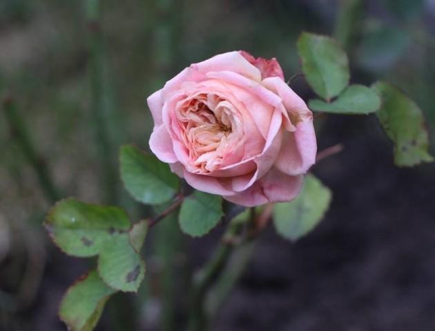У Луцьку біля собору зацвіли троянди. ФОТО