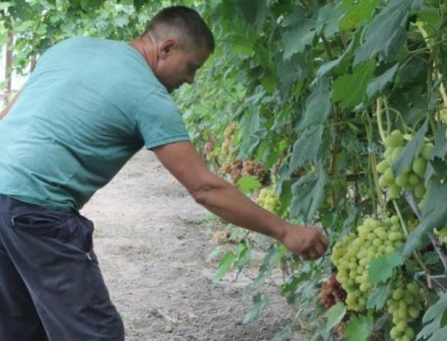 Грона небувалих розмірів: у волинянина в господарстві – майже 60 сортів винограду. ФОТО