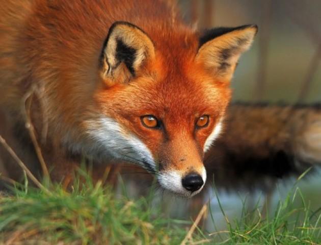 Село під Луцьком тероризує лисиця