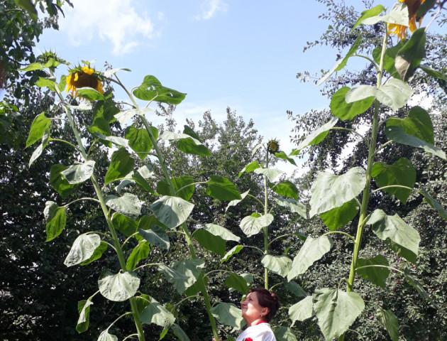 Волинянка виростила на городі гігантські соняшники. ФОТО