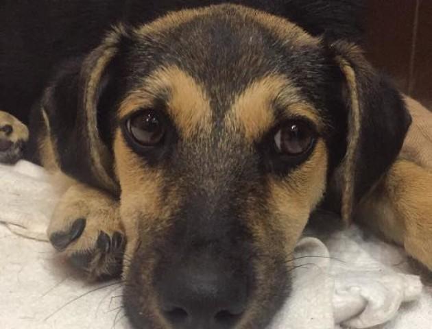 «Нема сили дивитися в ці сумні оченята»: шукають дім для собаки,  яку знайшли ледь живою. ФОТО