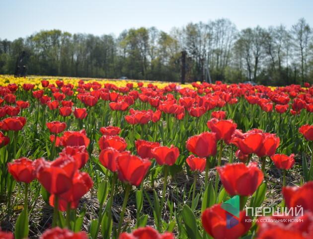 У «Волинській Голландії» прокоментували довжелезний затор біля тюльпанового поля