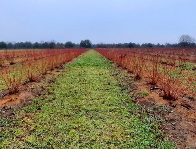 На Волині обікрали плантацію лохини, яка належить учасникові АТО
