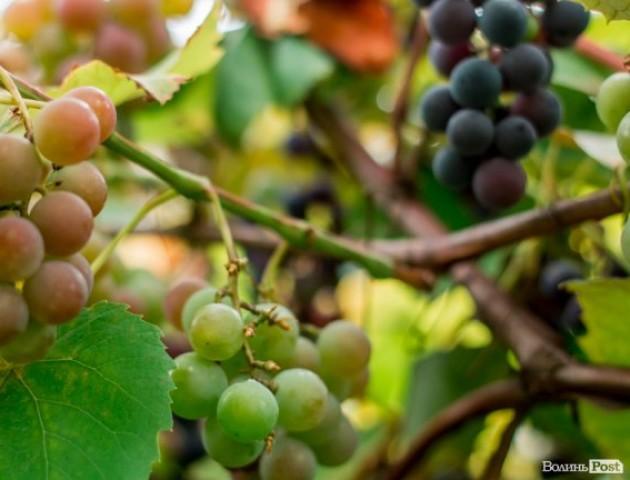 Дари природи: лучани хизуються цьогорічним урожаєм. ФОТО