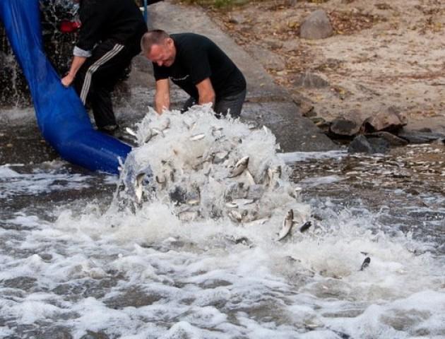 У волинські водойми запустили 6 тонн риби