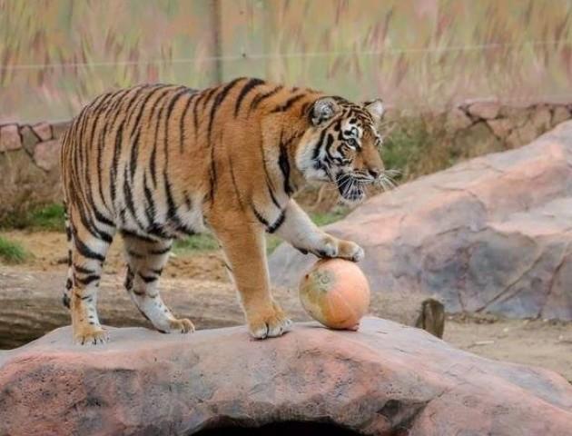 Луцький зоопарк кличе на свято гарбуза