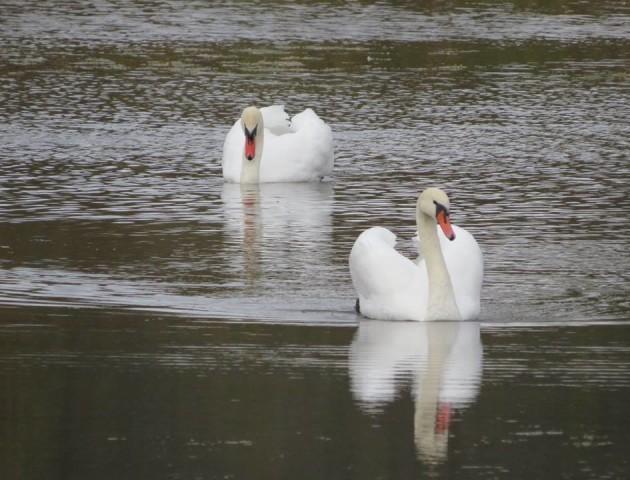 На озері у Ківерцях оселилися лебеді. ФОТО