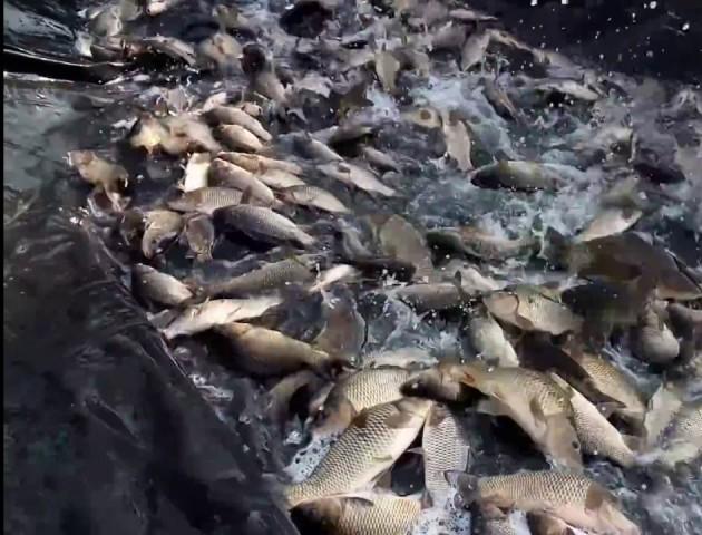 На Волині у водосховище випустили понад 1200 кілограмів риби