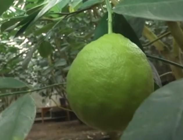 Біля Луцька ростуть півкілограмові лимони. ВІДЕО