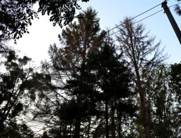 У Центральному парку гинуть дерева. ФОТО