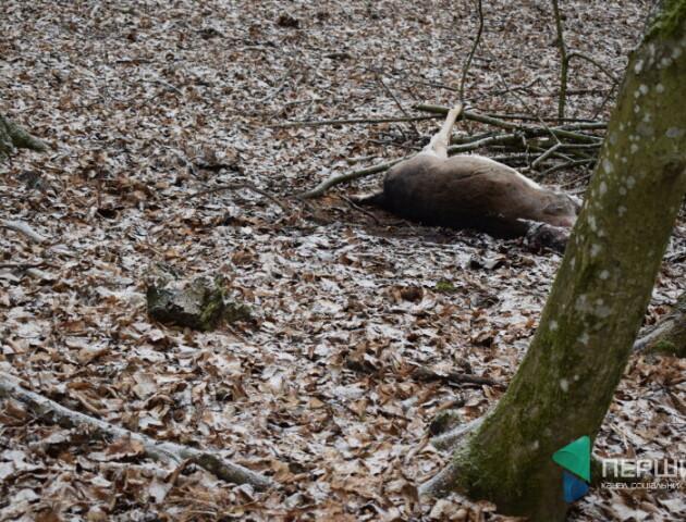 20 тисяч. Волинські лісівники обіцяють винагороду за інформацію про вбитих ланей