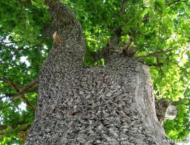 На Волині масово крадуть цінну деревину