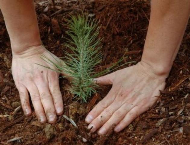 На Волині посадили гектар лісу. ВІДЕО