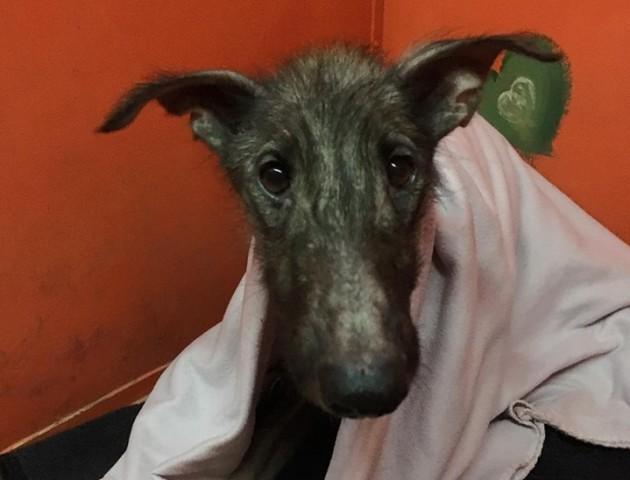 Лисий та худий: у Луцьку врятували виснаженого собаку. ФОТО