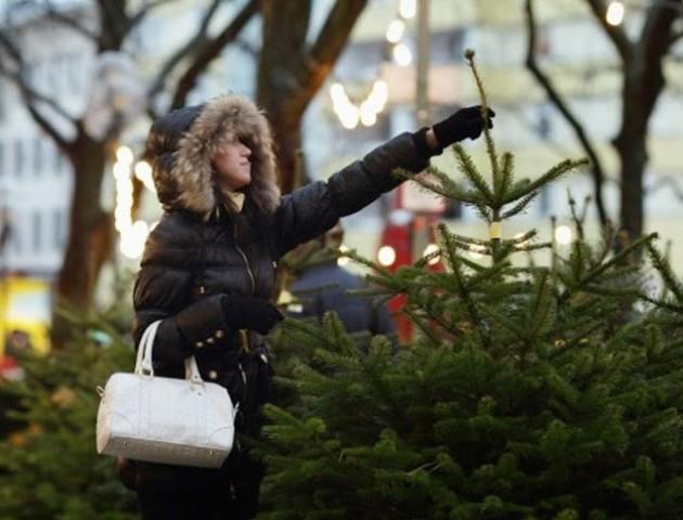 Де у Луцьку продаватимуть новорічні ялинки