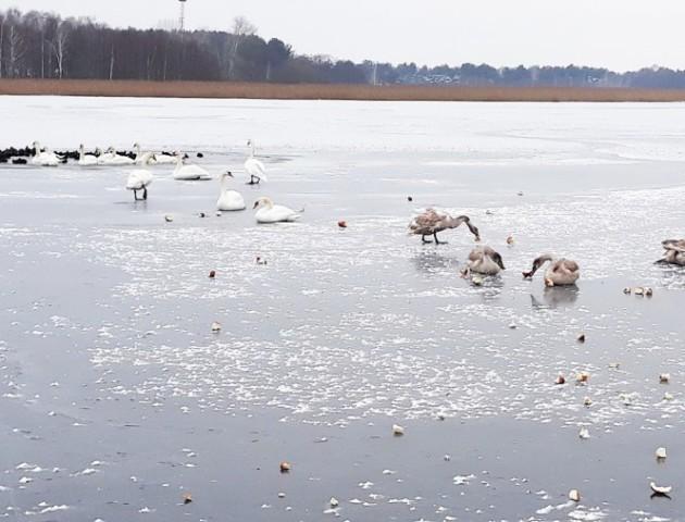 Волинські лісівники рятують лебедів, які залишились зимувати на озері