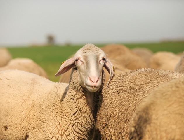 Фермер з Волині виграв 30 породистих овечок у шоу «Громада на мільйон».  ВІДЕО