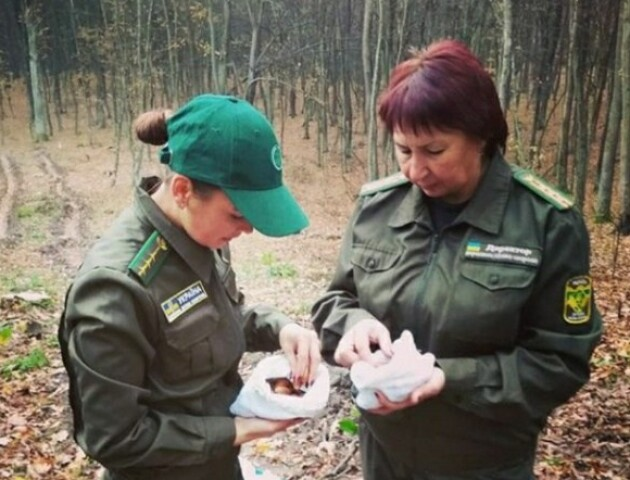 Першими посадили  жолуді дуба Лесі Українки. На Волині вирощують дерева з «покращеними генами»