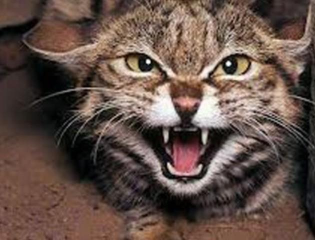 Волинянина покусав скажений кіт