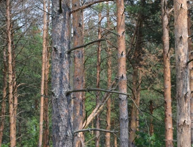 Як волинські ліси рятують від короїду