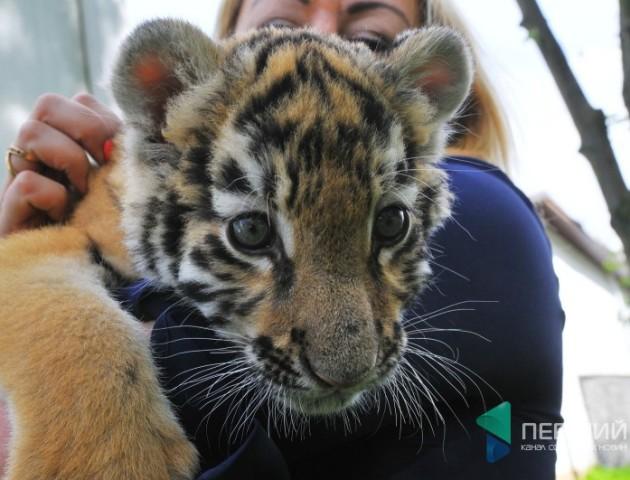 Вчиться самостійно їсти й пити: розповіли про тигреня з Луцького зоопарку. ВІДЕО