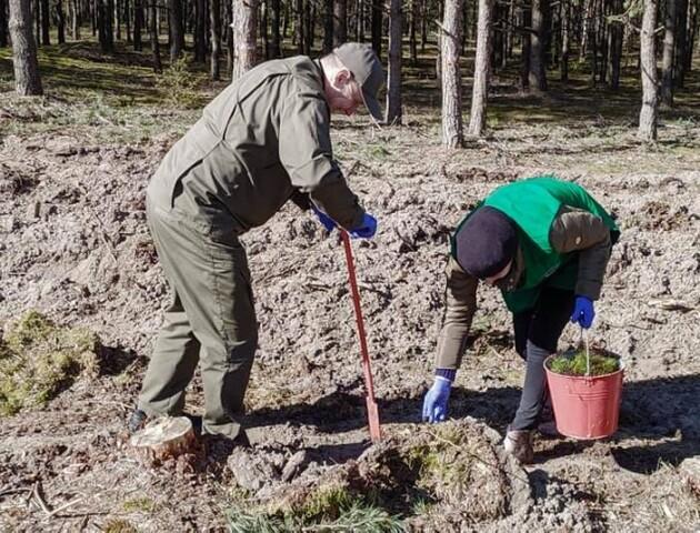У волинських лісах висадили понад сім мільйонів сіянців