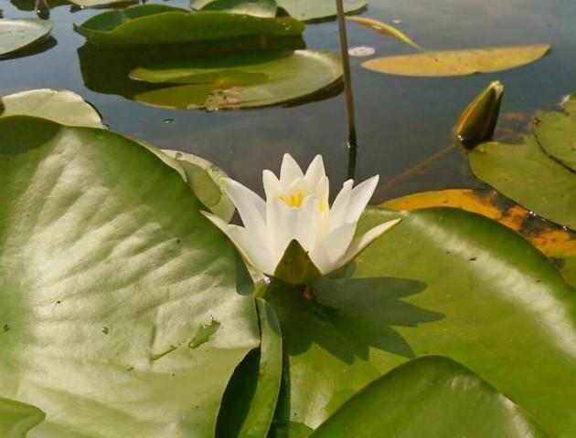 Водяні лілії квітнуть на Шацьких озерах. ФОТО