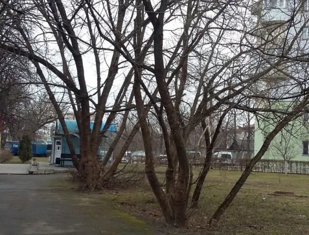 У Луцькраді пояснили, навіщо зрізали дерева на Київському майдані. ФОТО