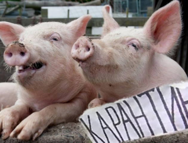 У селах на Волині масово ріжуть свиней
