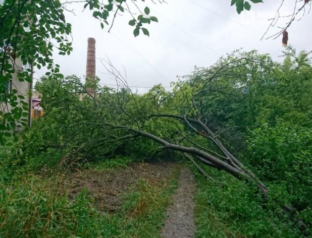 У Луцьку впало фруктове дерево