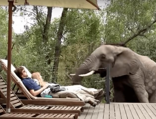 Казус на відпочинку: слони до нестями налякали людей біля басейну. ВІДЕО