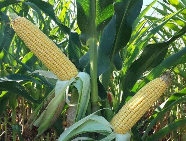Кукурудзу, яку виростили на Волині, їдять у Китаї
