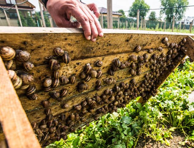 Під Луцьком працює равликова ферма. Тварин продають у ресторани і на консервні заводи