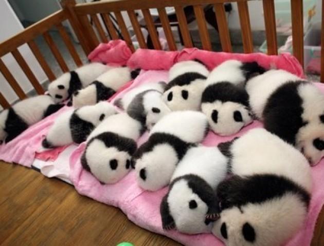 У Китаї показали дитячий садок для панд. ВІДЕО