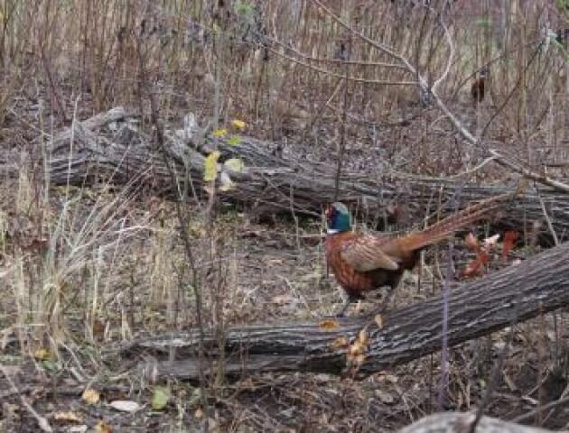 Вольєр з електропастухом і кісткове борошно: як на Волині вирощують фазанів