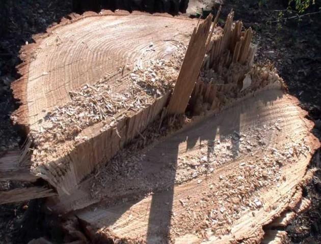 На Волині вирубують дуби, яким по 120 років