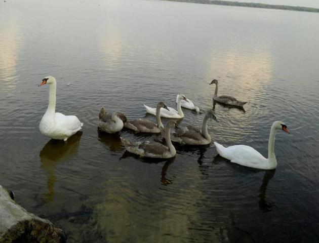 На волинському озері підростають лебеденята. ФОТО