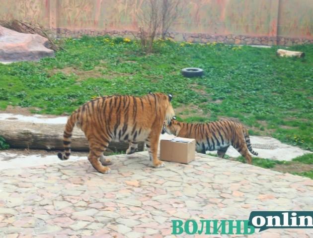 У Луцькому зоопарку тигри відсвяткували день народження. ФОТО