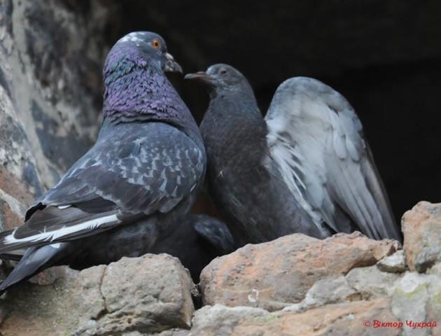 Непримітна краса: фотограф показав птахів Луцького замку. ФОТО