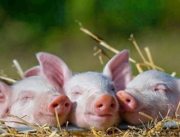 Журналісти «ТСН» шукали на Волині найбільшу свиню України. ВІДЕО