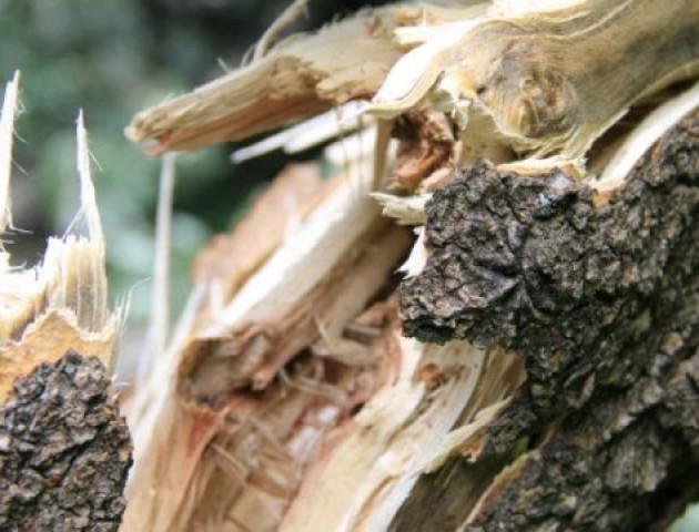 На Волині дерево впало і вбило чоловіка