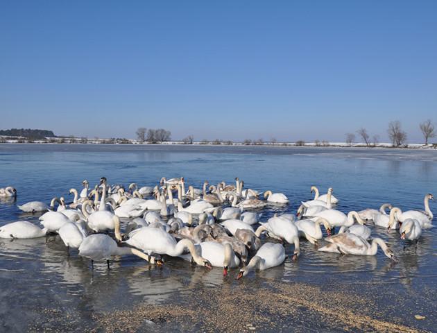 На волинському водосховищі оселилася сотня лебедів. ВІДЕО