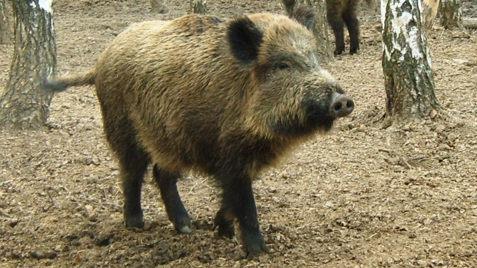 На Волині виявили африканську чуму свиней