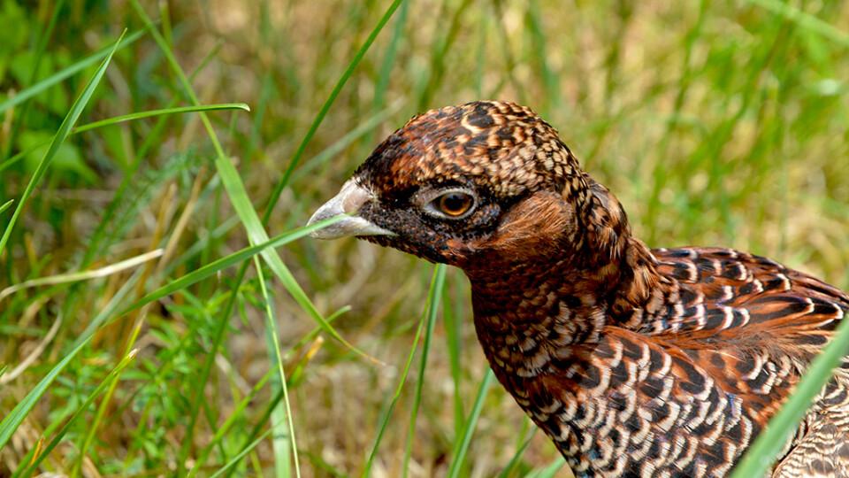 Волинські лісівники штучно вивели молодняк фазана