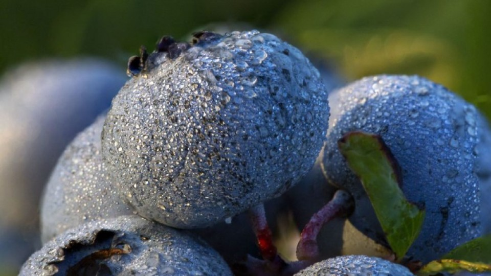 Фотограф показав зачаровуючі знімки лохини – від цвіту до плоду. ФОТО