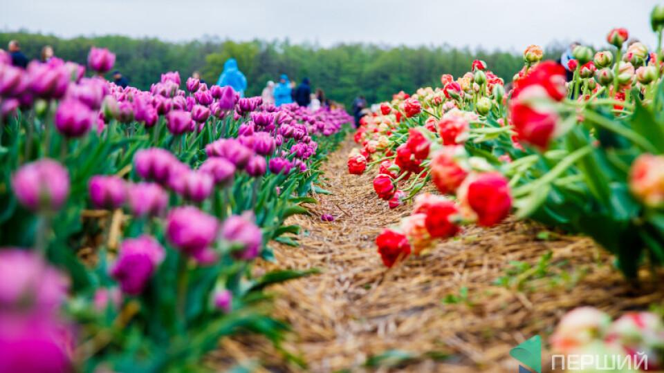 Фестиваль тюльпанів на Волині продовжили на два дні