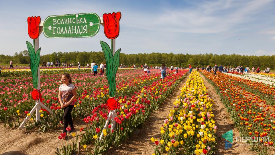 На волинській плантації тюльпанів побувало близько 10 тисяч відвідувачів. ФОТО. ВІДЕО