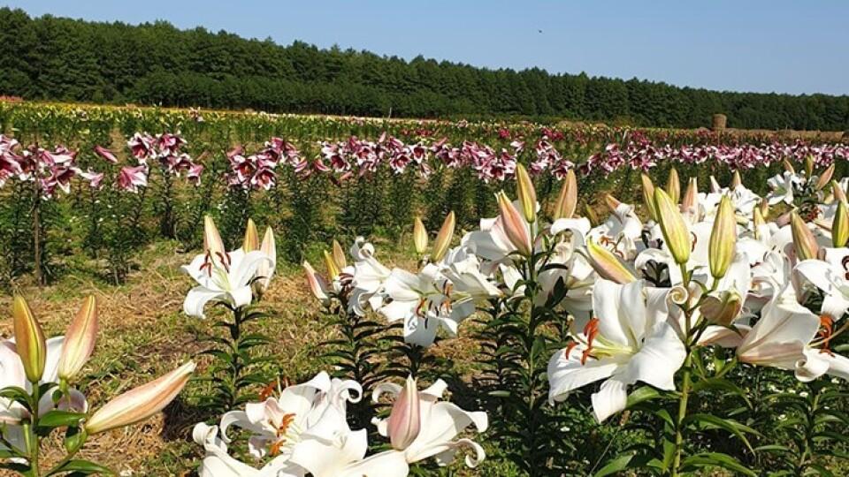 Волинська Голландія влаштовує осіннє свято квітів. Замість тюльпанів — хризантеми і лілії